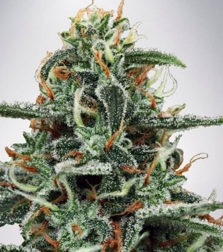 White Widow (Ministry of Cannabis)