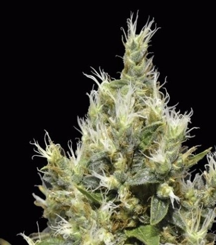 Northern (CBD Seeds)