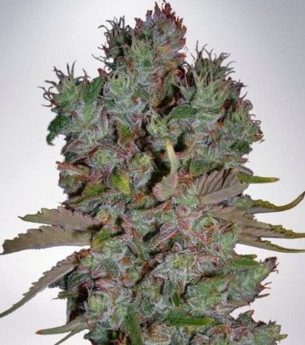 Auto Blueberry Domina (Ministry of Cannabis)