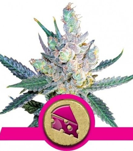 Royal Cheese - Fast Flowering (Royal Queen Seeds)