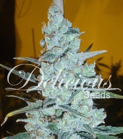 Critical Jack Herer (Delicious Seeds)