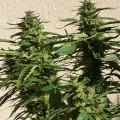 Missile 33 SuperAuto (Flash Auto Seeds)