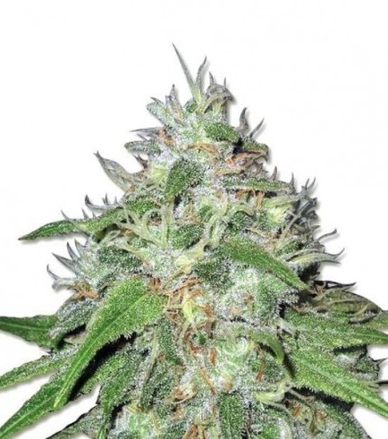 Amnesia Haze (Sensation Seeds)