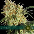 Cheese (Vision Seeds)