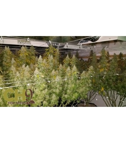 Toxic Blue 33 (CH9 Seeds)