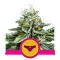 Sherbet Queen (Royal Queen Seeds)