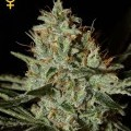 Alaskan Ice (Greenhouse Seeds)
