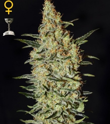 Neville's Haze (Greenhouse Seeds)