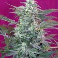 Big Foot (Sweet Seeds)