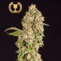 OG Reekn (Devil's Harvest Seeds)