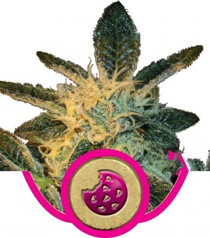 Royal Cookies (Royal Queen Seeds)